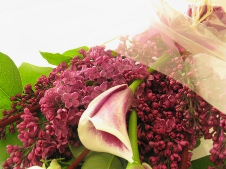 Purple_lilac